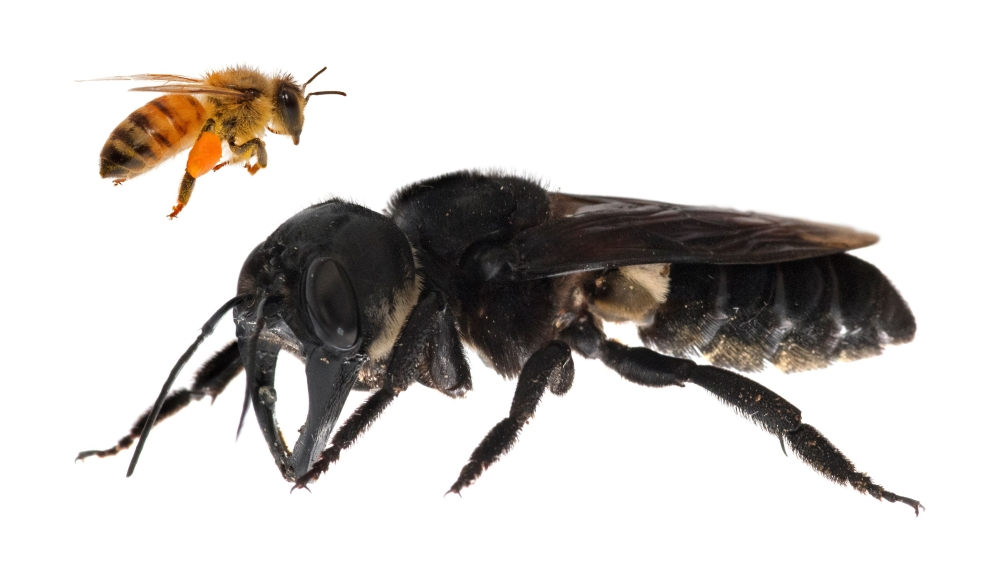 लंबे समय से खोई हुई दुनिया की सबसे बड़ी विशालकाय मधुमक्खी, फिर से खोज की गई 20