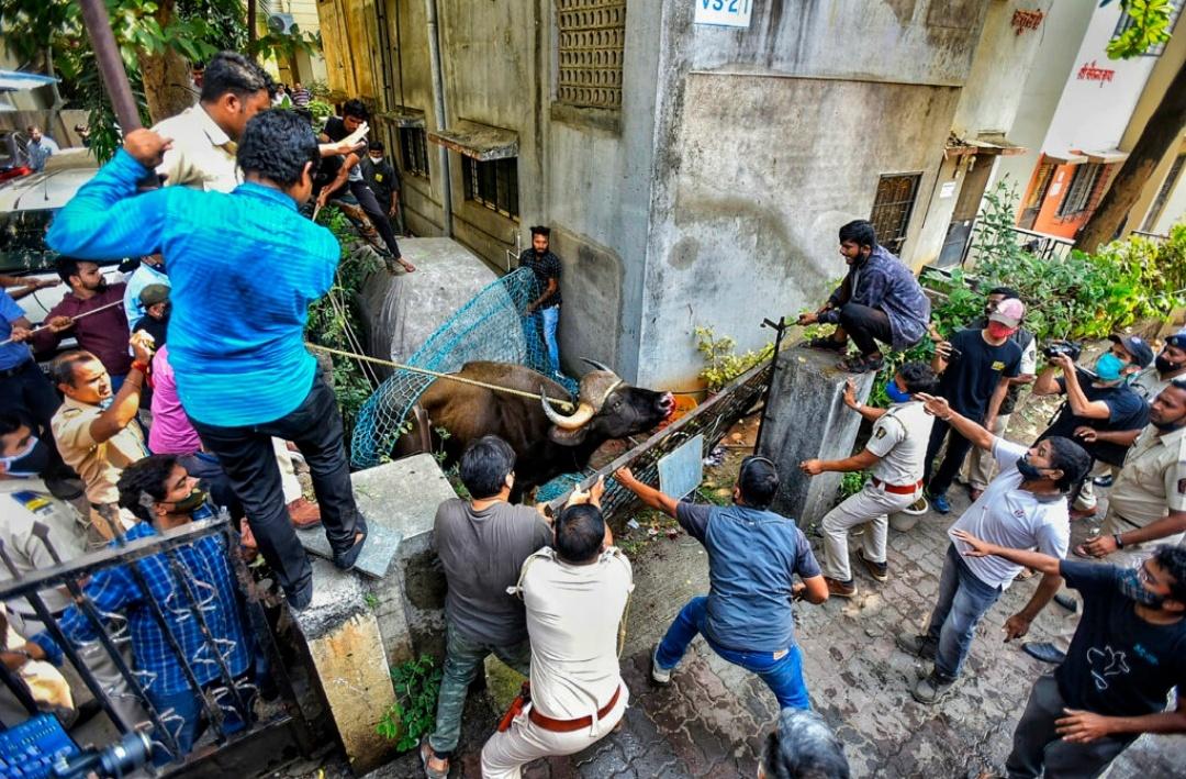 पुणे में हंगामा मचाने वाली जंगली भैंस को किया गया रेस्क्यू, हुई मौत! 8