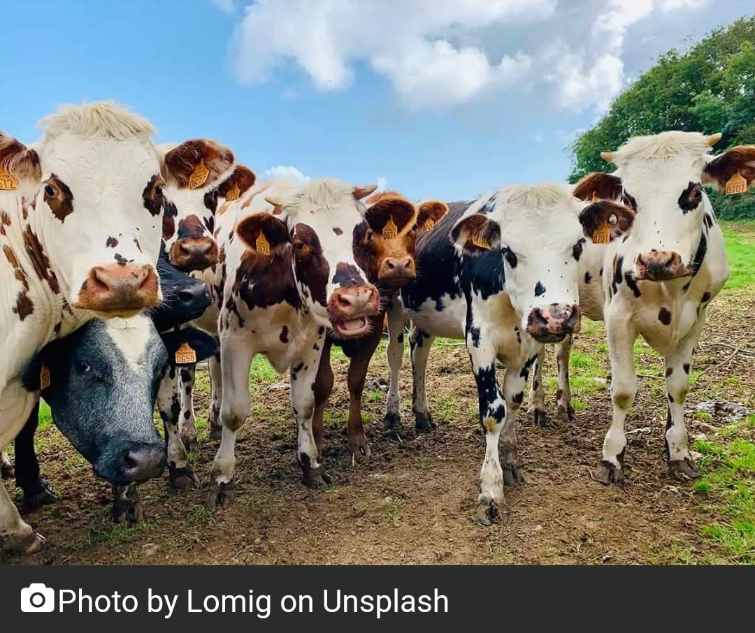 गायों के साथ दुर्व्यवहार के लिए न्यूजीलैंड के किसान पर जुर्माना 2